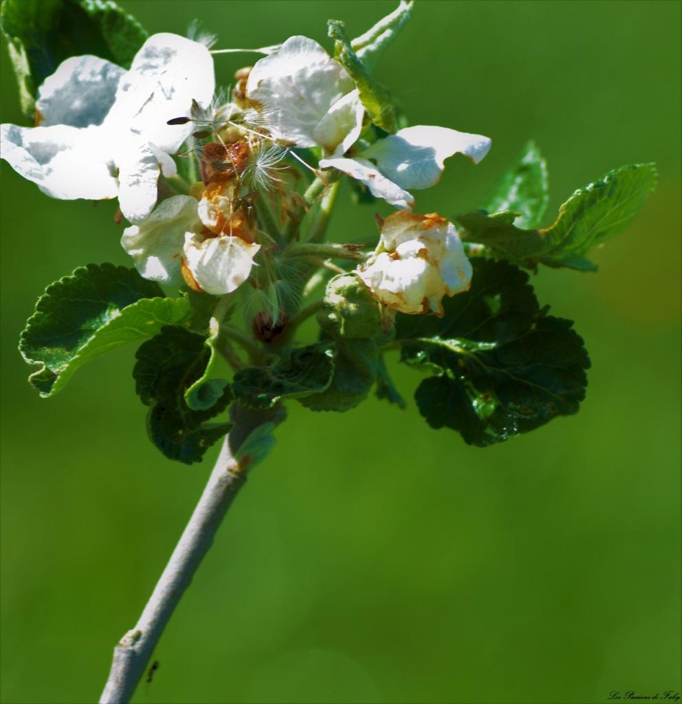 Les pommiers sont en fleurs  Ils berceront ton coeur … 🎶🎵 les-passions-de-faby.com